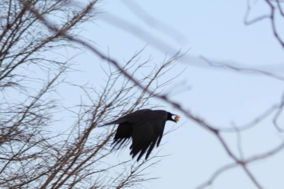 Crow IMG_0152_1
