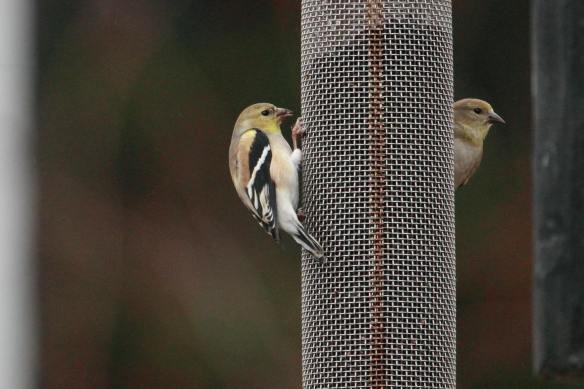 Goldfinches IMG_9928_1
