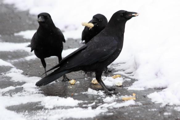 Peanut Crows IMG_0089_1