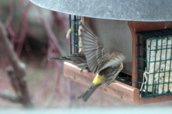 Yellow House Finch IMG_1033_1