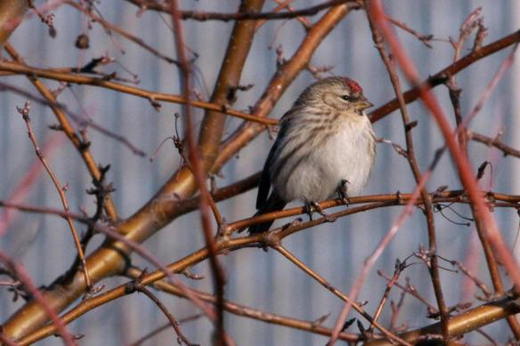Female Common Redpoll IMG_2832_1