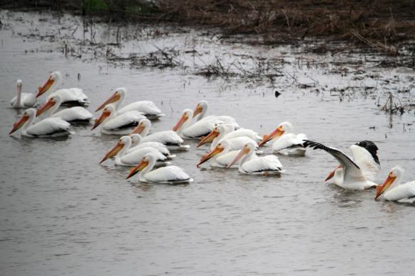 American Pelicans IMG_7018_1