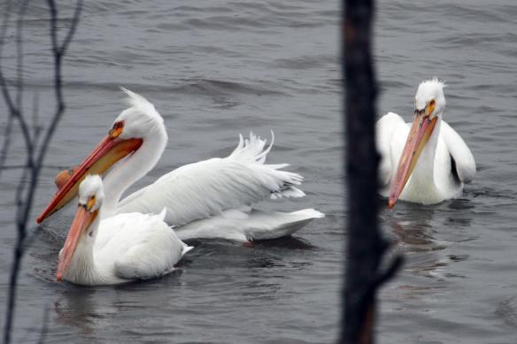 American White Pelicans IMG_7040_1