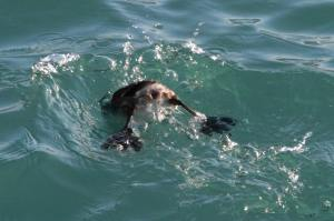Horned Grebe Diving IMG_4135_1