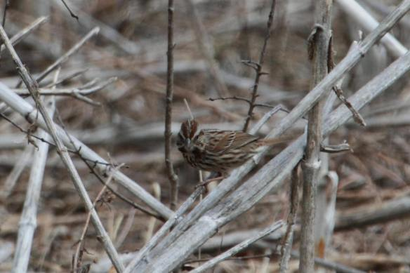 Song Sparrow Churchill Woods IMG_3940_1