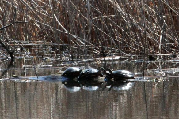 Turtles IMG_5384_1