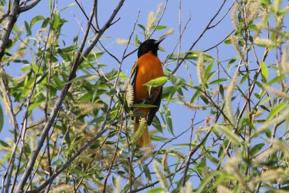 Baltimore Oriole McGinnis IMG_0314_1