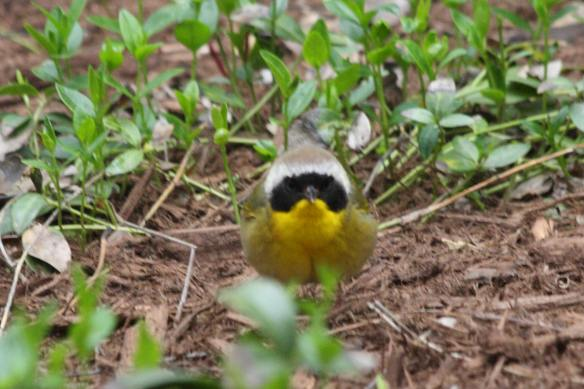 Common Yellowthroat IMG_6228_1
