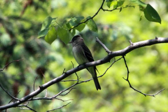 Eastern Wood Pewee, Lake Shore East Park