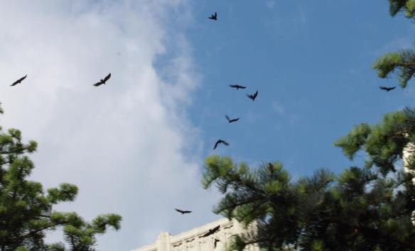 Crows IMG_2044_1