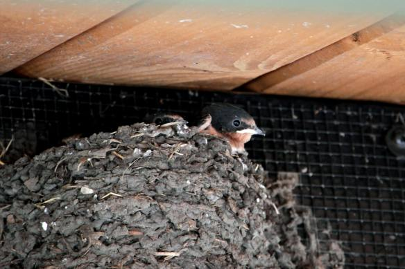 Barn Swallow Nestlings IMG_4081_1