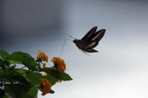 Hummer Moth IMG_0373_1