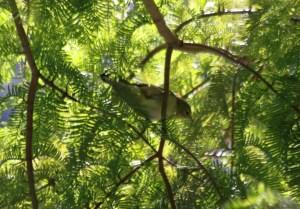 Blackpoll Warbler, Lake Shore East Park