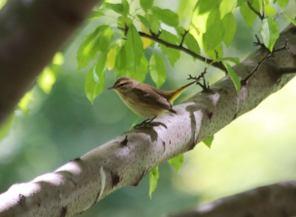 Palm Warbler, Lake Shore  East Park