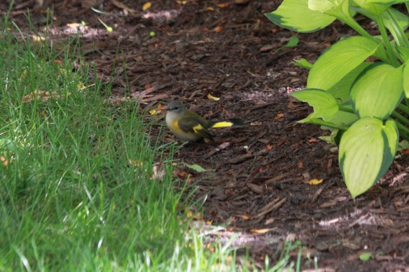First-Year Male American Redstart