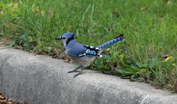 Blue Jay 1I2A3924