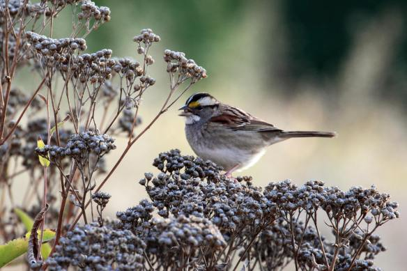 White-Throated Sparrow, Lurie Garden