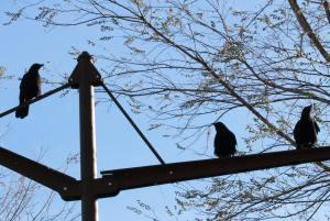 Crows in Millennium Park