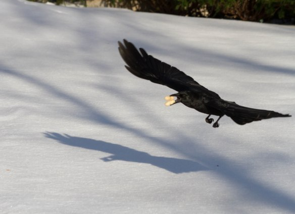 Crow with Peanut-2322.jpg-2322