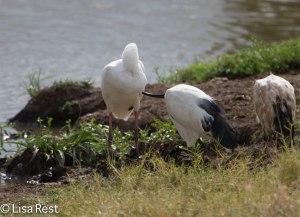 Sacred Ibis Preening Spoonbill-4537.jpg-4537