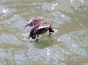 Diving Fem WW Scoter 2-25-14 5877.jpg-5877