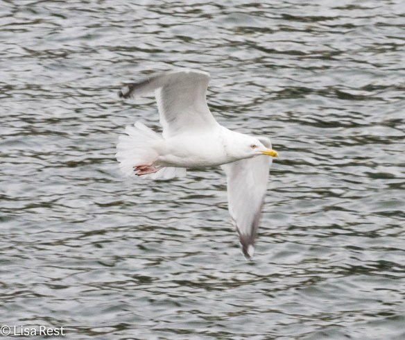 Herring Gull, Chicago River