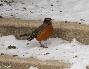 American Robin, Cancer Survivors Garden 1-31-14
