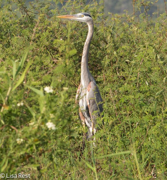 Great Blue Heron, Belize 3-12-14