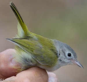 Tennessee Warbler banded 3-10-14