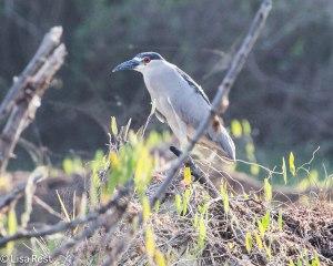 Black-Crowned Night Heron 3-12-14 4512.jpg-4517