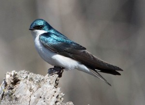 Tree Swallow Portage 6968.jpg-6968