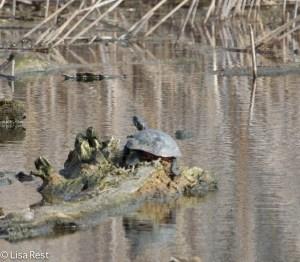 Turtle 4-13-14 6708.jpg-6708