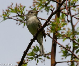 Least Flycatcher, LSE Park