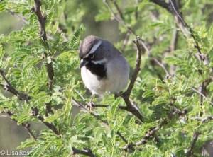 Black-Throated Sparrow 4-30-14-9670