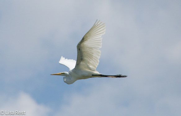Great Egret Lake Renwick 7-4-14-0885