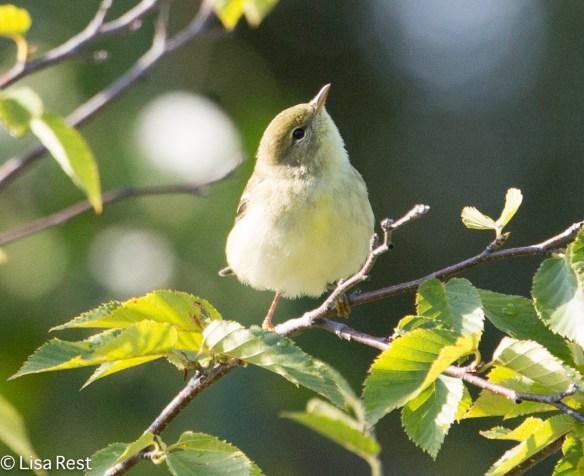 Blackpoll Warbler, Columbus Park