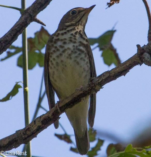 Gray-Cheeked Thrush, Ottawa Trail Woods