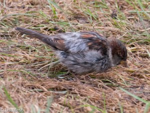 House Sparrow, Great Lawn, Millennium Park