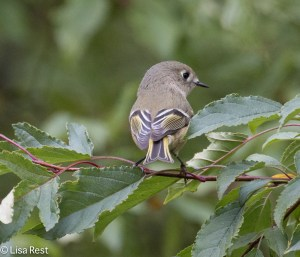 Ruby-Crowned Kinglet, Lake Shore East Park