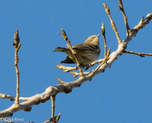 Yellow-Rumped Warbler, Portage