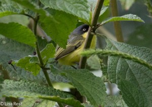 Common Tody Flycatcher 11-12-14-6670