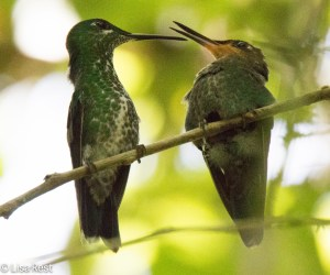 Green-Crowned Brilliant 11-13-14-7299