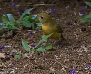 Female Summer Tanager