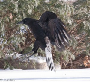 Snow Crow 1-15-15-0427