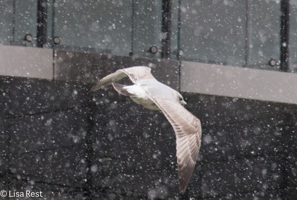 Second Cycle Herring Gull, Chicago River
