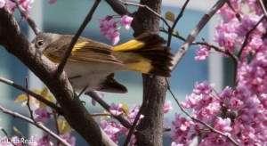 American Redstart, first-year male
