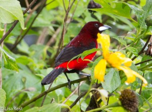 Crimson-Backed Tanager 04-3-15-6369