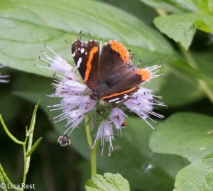 Red Admiral Chicago Portage 5-25-15-3562