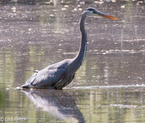 Great Blue Heron, LaBagh, 5-23-15