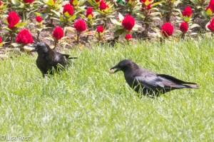 Crows LSE Park 7-2-15-5993
